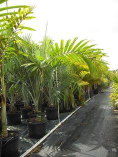 1000 Images About Botanics Rare Palms Wholesale Nursery