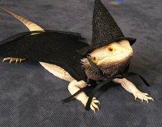 Witch Hat & Cape for Bearded Dragons, Reptiles, and Small Animals! Bearded Dragon Costumes, Bearded Dragon Funny, Bearded Dragon Cage, Shark Costumes, Pet Costumes, Halloween Costumes, Ghost Costumes, Costume Ideas, Cute Reptiles