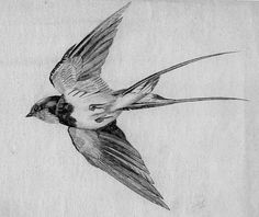 Google Image Result for http://2.bp.blogspot.com/-31At3-O323Q/TbnSjIe6c2I/AAAAAAAAAX0/sVR3lw3wxsE/s1600/SKETCH-Swallow-700.jpg
