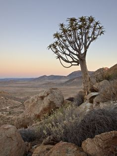 Photographic Print: Quiver Tree (Kokerboom) (Aloe Dichotoma) at Dawn, Namakwa, Namaqualand, South Africa, Africa by James Hager : Lesotho Travel Honeymoon Backpack Backpacking Vacation Africa Off the Beaten Path Budget Wanderlust Bucket List Landscape Photography, Nature Photography, Road Trip, Beach Landscape, Africa Travel, Romantic Travel, South Africa, Beautiful Places, Scenery