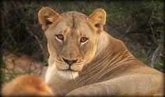 Amber Eyes @SafarisLive 10-6-16 @JamesRAHendry