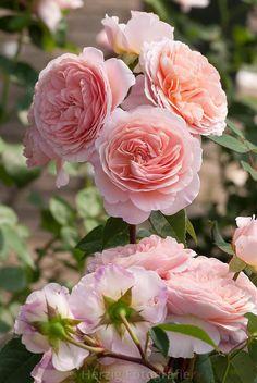 William Morris, Shrub.  English Rose Collection. David C. H. Austin  1998  | © Tina & Horst Herzig