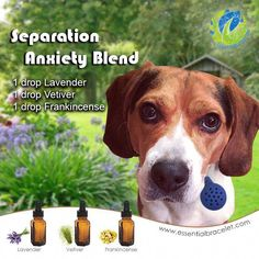 The use of Essential Oils with animals works on multiple levels, especially physically and emotionally. The action of diffusing an essential oil or essential oil blend can be very successful for Separation Anxiety in Dogs. Essential Oils Dogs, Essential Oil Uses, Doterra Essential Oils, Essential Oil Diffuser, Dog Calming Essential Oils, Aromatherapy For Dogs, Dog Separation Anxiety, Dog Anxiety, Young Living Oils