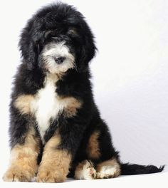 A large, furry puppy posing for the camera.