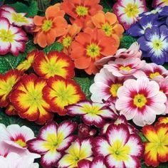 Primrose Charisma Collection (6 plants) £5.00