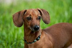 Brownie is an adoptable dachshund searching for a forever family near Austin, TX. Use Petfinder to find adoptable pets in your area. Mini Dachshund, Dachshund Puppies, Dachshund Adoption, Austin Tx, Searching, Shelter, Pets, Animals, Animales