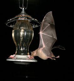Lesser long-nosed bat (Leptonycteris yerbabuenae)