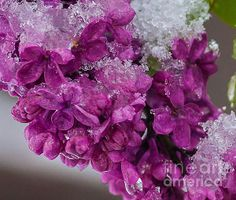 Spring and Winter - photograph by Steven Reed. Fine art prints and posters for sale. #lilacs #macrophotography #stevenreed