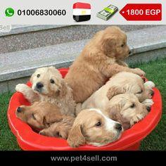 مصر، القاهرة  جراوي جولدن ريتريفر 40 يوم تربيه منزليه اهالي مستوي عالي يمكن رؤيتهم شعر طويل لون غامق وفاتح #pet4sell