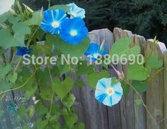 Flying Saucers Morning Glory Seeds.Blooms are pure white with bright blue stripes!Popular  For Home Garden--50seeds