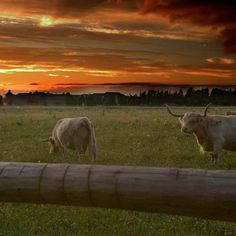 Our Scottish Highland Cattle grazing as the late summer sun sets over the studio.  MacKenzie-Childs farm Aurora NY