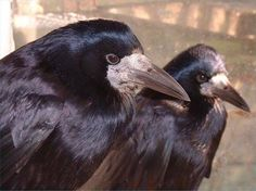 BigBird and Oscar - two fab rooks from for the love of crows