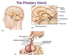 pituitary gland anterior lobe posterior lobe hypophysis