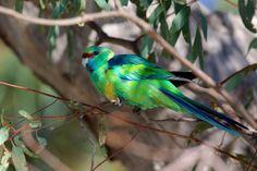 Barnardius zonarius barnardi: Campsite 2, Katarapko Creek, Murray River National Park, South Australia.