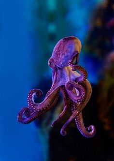 beautiful octopus : NatureIsFuckingLit - Belezza,animales , salud animal y mas Underwater Creatures, Underwater Life, Ocean Creatures, Weird Sea Creatures, Beautiful Sea Creatures, Animals Beautiful, Beautiful Ocean, Fauna Marina, Water Animals