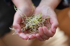 Comment cultiver des graines germées sans germoir ? Avec un bocal, une compresse de gaze et des graines séches, on peut facilement obtenir des graines germées pleines de vitalité !