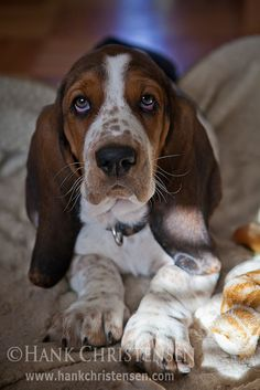 Basset puppies are so cute!