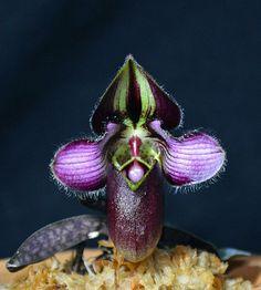 Orquídea Paphiopedilum rungsuriyanum
