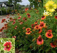 YUM.  Blanket flower. Gorgeous flowering shade loving plant. Florida Native Plants Nursery