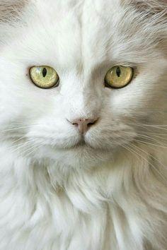 Beautiful White Cat ❤❤ #catsbreedsabyssinian