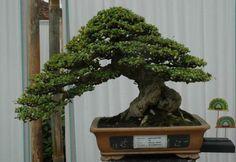 Živé umělecké dilo, které nikdy není dokončeno. - Fotoalbum - Druhy bonsají - Carmona mocrophylla bonsai
