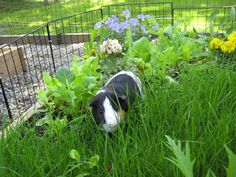 Nibbles gets his own outdoor planter box garden: a 4x4 foot raised bed with organic grass, lettuce, and edible flowers