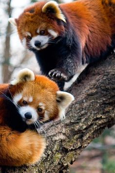 2 beautiful red pandas