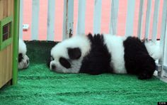 Chow could dogs get any cuter? When they are made to look like pandas. Pet shop owner Hsin Ch'en told photo agency Central European News that he ca. Panda Puppy, Panda Bear, Sea Monkeys, Chow Chow Dogs, Pet Rocks, Healthy Pets, China, Pet Store, Best Dogs