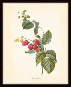Antique Raspberries Redoute French Botanical Art Print 8 x 10 Digital Collage Home Decor Wall Art Home and Garden
