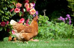 Healthy Herb Garden Chickens Will Love - the top 16 herbs for chickens! Herbs and herbal health aren't just for us; they are great for our chickens too.