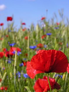 Poppies and cornflowers in the field.