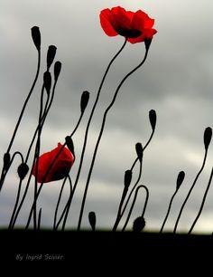500px / Poppy by Ingrid Scivier
