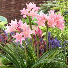 Amarcrinum memoria-corsii 'Howardii' - Other Flower Bulbs - Van Meuwen