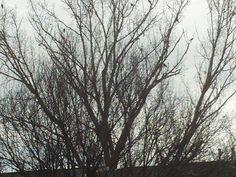 PT 87 DEC 13 BLACK BIRDS IN NAMPA IDAHO TREE/ CANYON COUNTY/ TREASURE VALLEY.