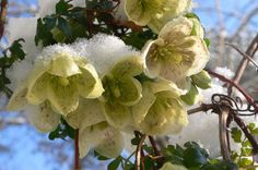 Clematis cirrhosa var. balearica ~ Fragrant, creamy-white flowers and bronze-tinted evergreen leaves