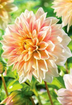Flower Bulb,STORE Solar Flare Decorative Dahlia Root Spectacular Cut Flowers