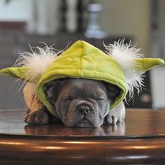 """""""Do or do not. There is no try"""". Baby Frank, the French Bulldog Puppy, in his YODA costume, #maythe4thbewithyou by threelittlefrenchies"""