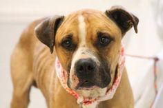 ADOPTED>NAME: Cole  ANIMAL ID: 30436128 BREED: Boxer mix SEX: Male  EST. AGE: 3 yrs  Est Weight: 56 lbs  Health: heartworm positive  Temperament: dog friendly, people friendly  ADDITIONAL INFO:  RESCUE PULL FEE: SPONSORED!!  Intake date: 12/18 Available: Now
