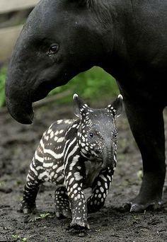 Aardvark baby and Mom
