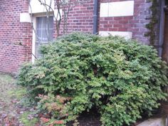 Evergreen huckleberry - a shade loving edible foundation plant Garden Shrubs, Shade Garden, Natal Plum, Cape Gooseberry, Foundation Planting, Planting Plan, Veggie Patch, Farmhouse Garden, Evergreen Shrubs