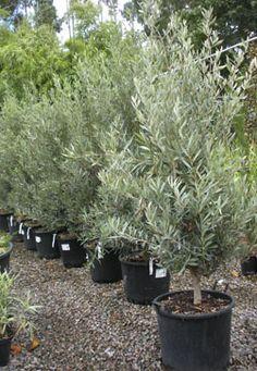 Olea europaea 'Bush'  Olive Tree  £80