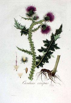 < > Carduus crispus L. Kops et al., J., Flora Batava, vol. 3: t. 230 (1814) family:Compositae