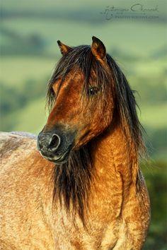 Dartmoor pony from Dartmoor National Park, Devon, United Kingdom.