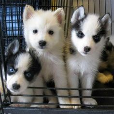 How cute are these three? #husky #puppy #aww