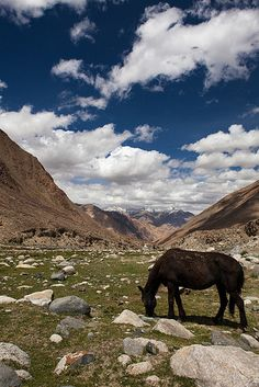 Wild horse, Changtang