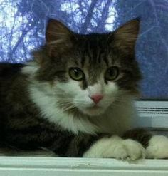 Catwoman is an adoptable Domestic Short Hair Cat in Annapolis, MD. Catwoman is a beautiful long haired tabby with green eyes. She was brought to us because she had a litter of kittens. They have all b...