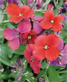 Erysimum 'Spice Island' - Opening from deep purple buds the orange-red flowers mature to pinkish purple, creating a colourful effect as the season progresses. The lightly scented flowers form in loose clusters on the upright stems and are excellent for cutting.