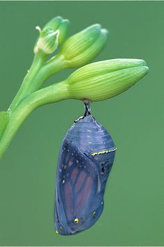 Monarch butterfly Chrysalis by Steve Gettle