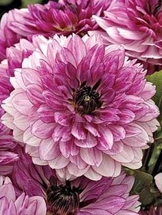 "Dahlia, Gabriella New for 2014! Superb Color Transformation. 6"" flowers open rosy-pink and gradually change to ligh pink with a rosy-pink variegated edge. Cut these and bring them indoors to be fully appreciated."