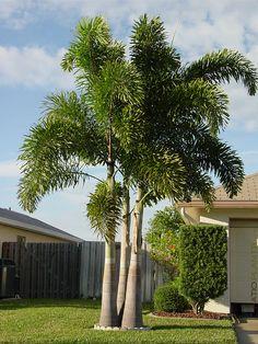 Image result for wodyetia bifurcata Tropical Landscaping, Tropical Plants, Tropical Garden, Garden Landscaping, Foxtail Palm Tree, Palm Trees, Backyard, Landscape, Shrubs